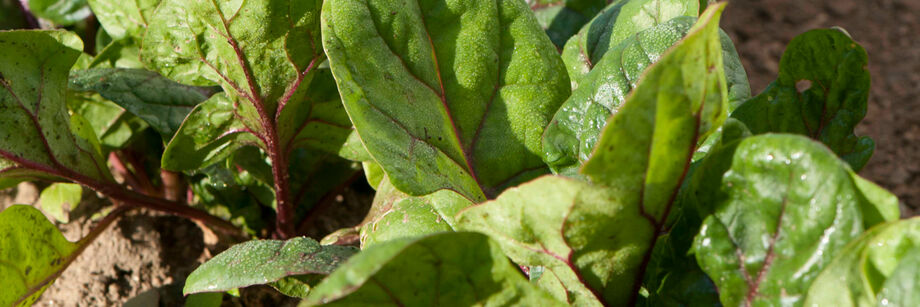 Red-veined smooth-leaf spinach in the field.