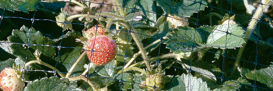 Strawberries protected by bird netting.