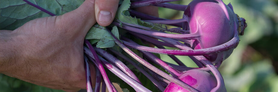 Fresh Eating Kohlrabi