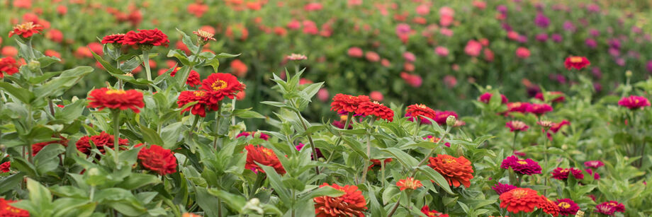 One of our red zinnia varieties, shown growing in the field.