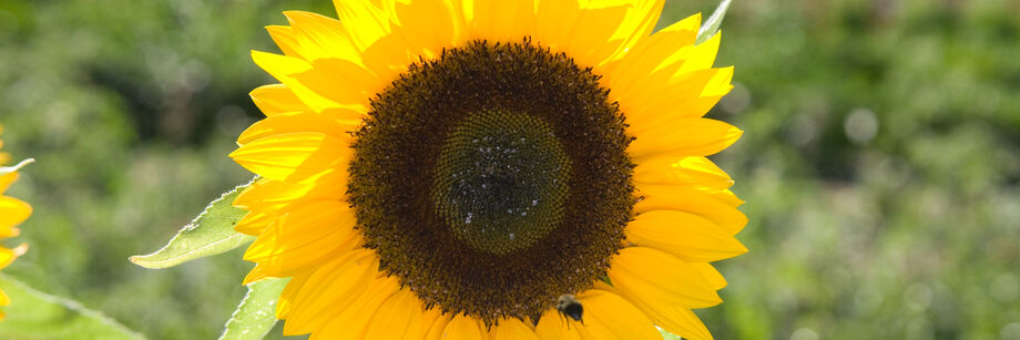 A bright yellow single-stem sunrich series sunflower bloom.