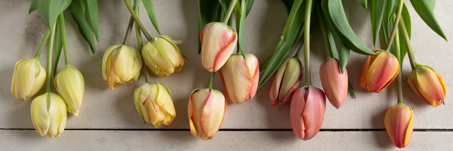 The flowers of five of Johnny's tulip varieties, laid out on a table.