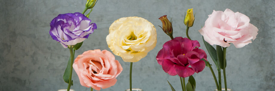 Five individual flowers showing the five colors in the arena III lisianthus series.