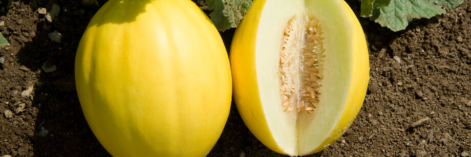 Two round, yellow canary melons shown in the field. One is whole and one is cut open to show the white flesh.