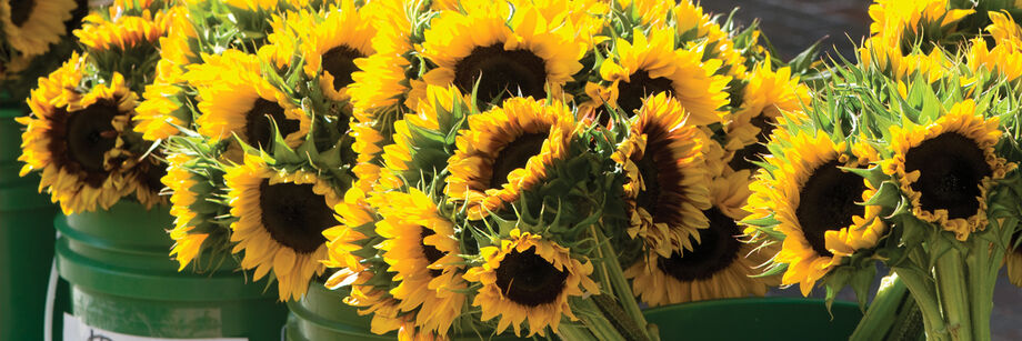 Sunflowers, grown from our organic seeds, displayed in metal buckets.