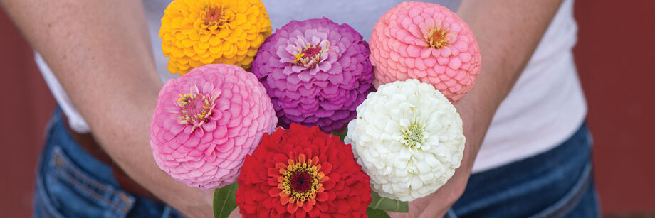 Person holding Oklahoma Series zinnia six flowers, one each of: pink, lavender, coral, red, white, and yellow.
