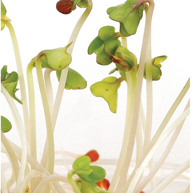 Mustard, Oriental Sprouts