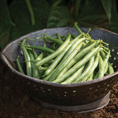 Annihilator Bush Beans