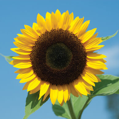 Sunbright Supreme Tall Sunflowers