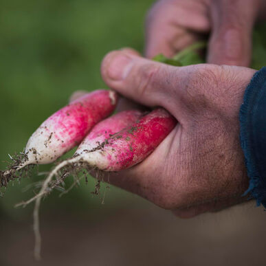 D'Avignon Long French Radishes