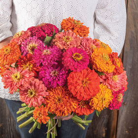 Jim Baggett's Choice Mix Zinnias
