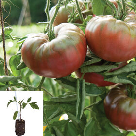 Marnero/Estamino Grafted Grafted Tomato Plants