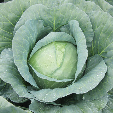Capture Fresh Market Cabbage