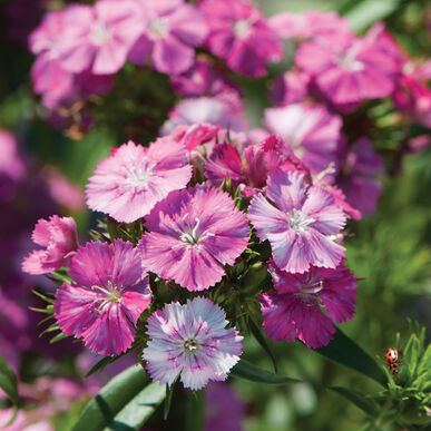 Amazon Neon Rose Magic Dianthus (Sweet William)