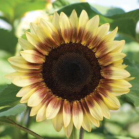 ProCut® Red/Lemon Bicolor Tall Sunflowers