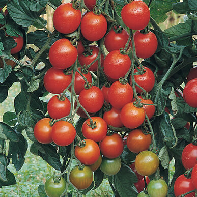 Favorita Cherry Tomatoes