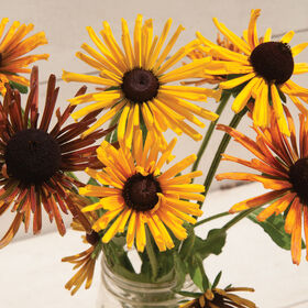 Chim Chiminee Mix Rudbeckia (Black-Eyed Susan)