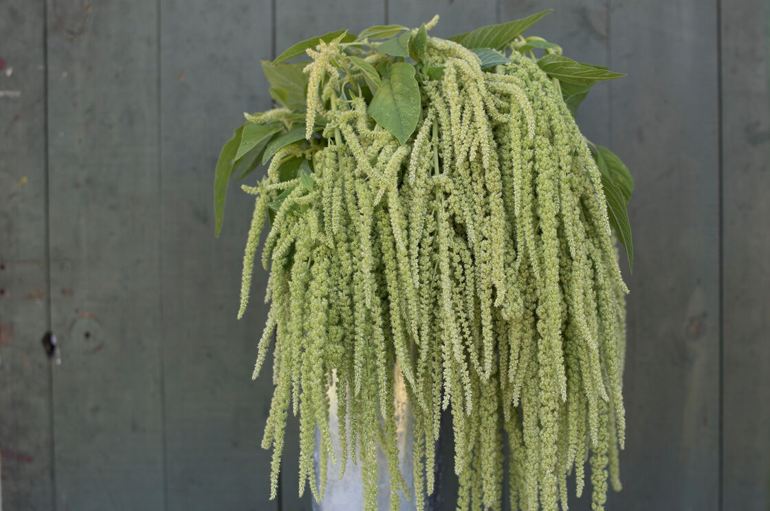 Emerald Tels - Amaranthus Seed | Johnny's Selected Seeds on lemon queen plant, white queen plant, silver queen plant, blue queen plant, black queen plant, crimson queen plant, gold queen plant, purple queen plant, pink queen plant, green queen plant, royal queen plant,
