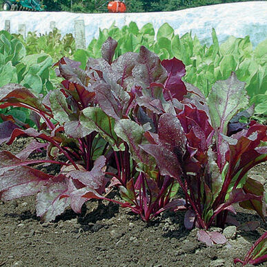 Bull's Blood Beet Greens
