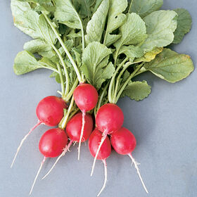 Cherriette Radishes