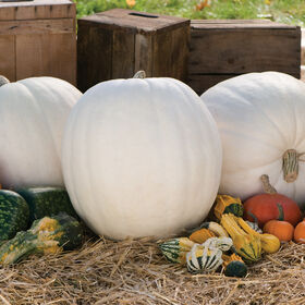 Polar Bear Giant Pumpkins