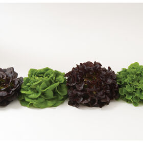 Salanova® Premier Collection Salanova® Lettuce