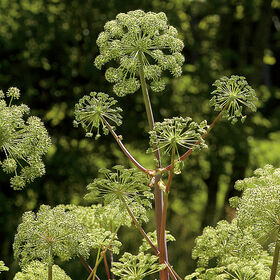 Angelica Angelica