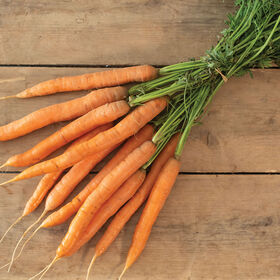 Adana Early Carrots
