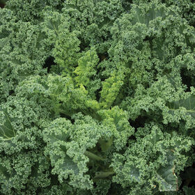 Westlandse Winter Kale