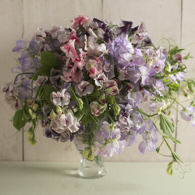 Spencer Ripple Formula Mix Sweet Peas