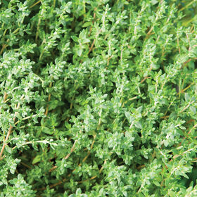 French Thyme Thyme