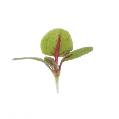 Sorrel, Red Veined Microgreen Herbs