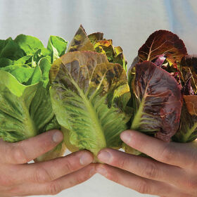 Mini-Romaine Trio Romaine Lettuce (Cos)
