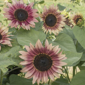 Strawberry Blonde Tall Sunflowers