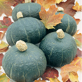 Black Forest Winter Squash