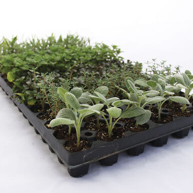 Vegetative Herb Collection Herb Plugs