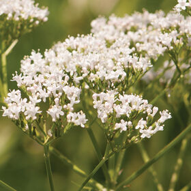 Common Valerian Valerian