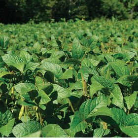 Soybeans (Viking 2265) Soybeans (Cover Crop)