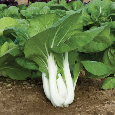 Joi Choi F1 Green Seed Johnnys Selected Seeds