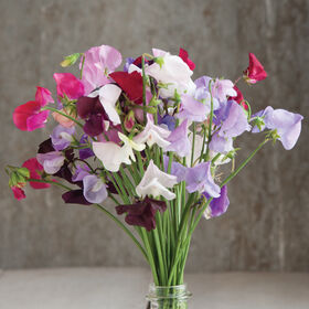 Royal Mix Sweet Peas