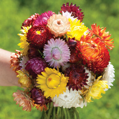 Sultane Mix Strawflower