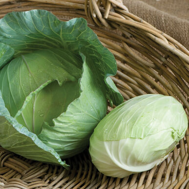 Tendersweet Fresh Market Cabbage