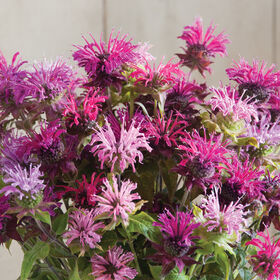 Panorama Mix Monarda (Bee Balm)