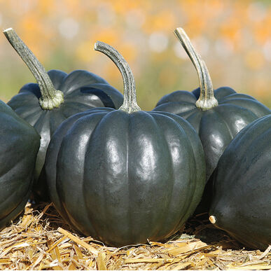 Tiptop PMR Winter Squash