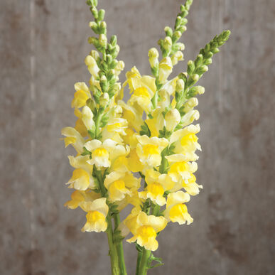 Potomac Yellow Snapdragon