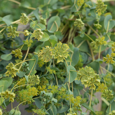 Green Gold Bupleurum
