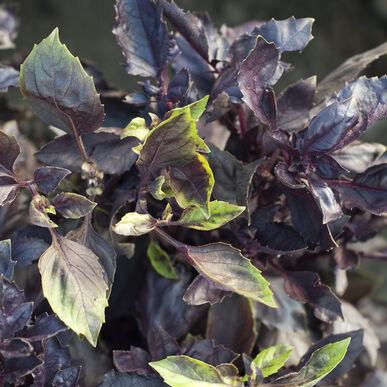 Dark Opal Purple Basil