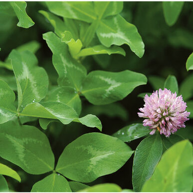 Mammoth Red Clover C