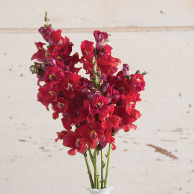 Chantilly Velvet Snapdragon