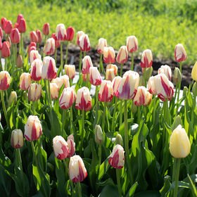 World Expression Tulips